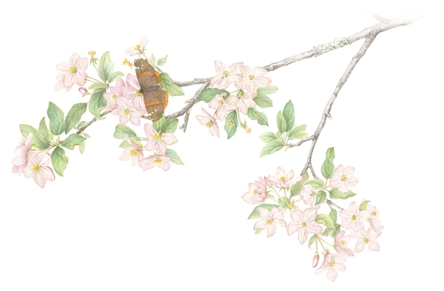 Apple Blossoms - watercolor $500.00 Giclee signed limited addition print $100.00 Image size 16