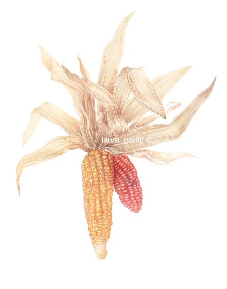 Indian Corn, Watercolor - $500.00 -  Giclee $75.00