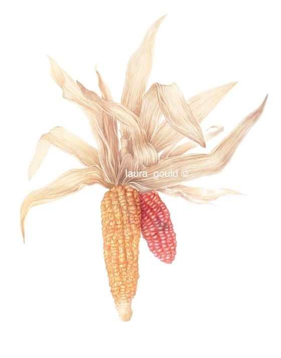 Indian Corn jpeg with ©