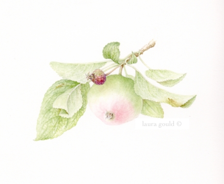 Summer Apple Watercolor $350.00 - giclee print $50.00
