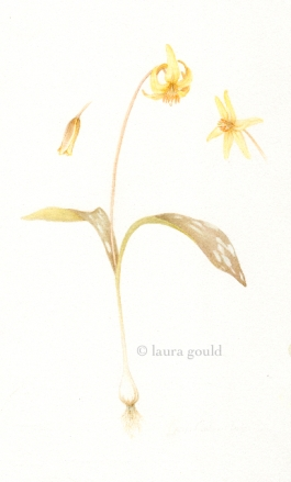Trout Lily with bulb - Watercolor $250.00 Giclee $50.00