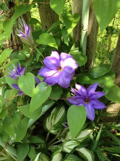first clematis bloom of the season...