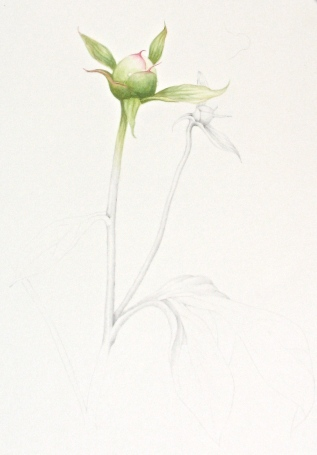 Peony bud, watercolor and graphite © laura gould