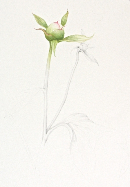 Peony bud, watercolor and graphite
