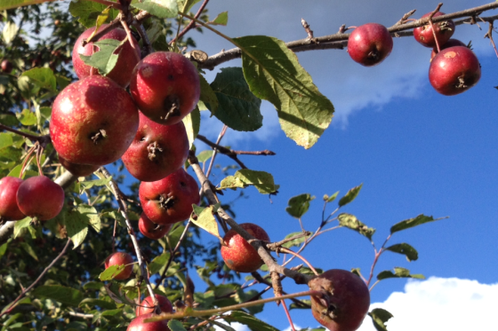Crabapples and blue sky...