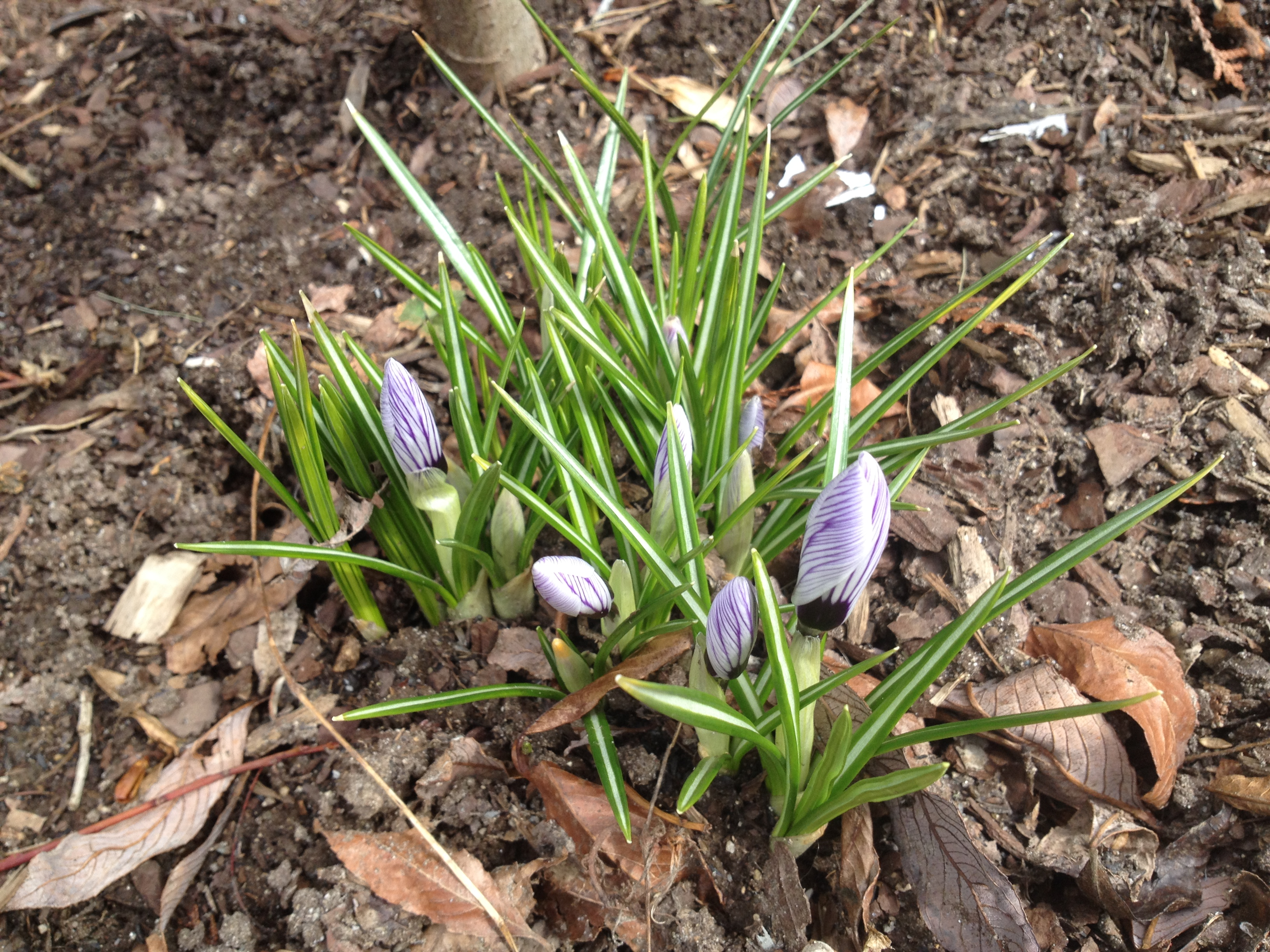 First crocuses of Spring,,