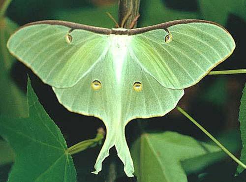 from link http://www.fcps.edu/islandcreekes/ecology/luna_moth.htm