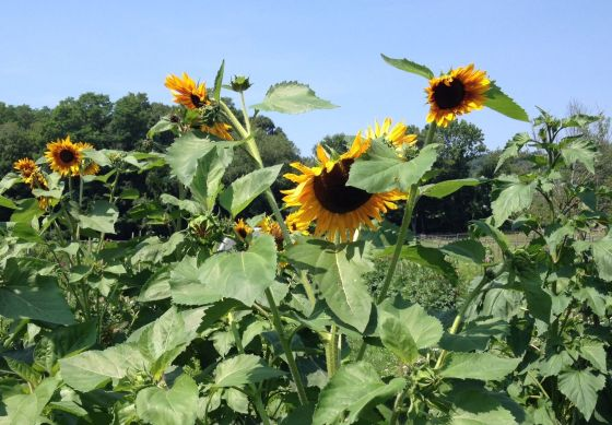 Sunflowers at Kitchawan