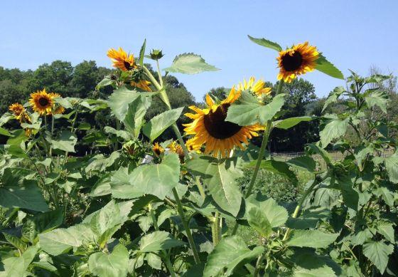 Sunflowers at Kitchawan